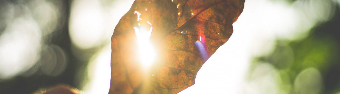 A leaf held up to the sun