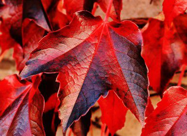 A red maple leaf