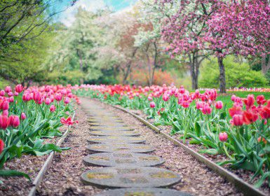 A pathway of tulips