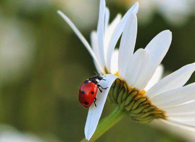 A ladybird on a daisy
