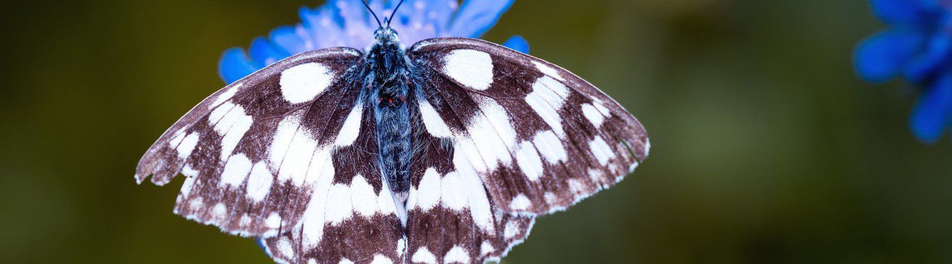 A magpie moth on a blue flower