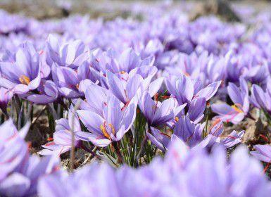 A field of purple crocus