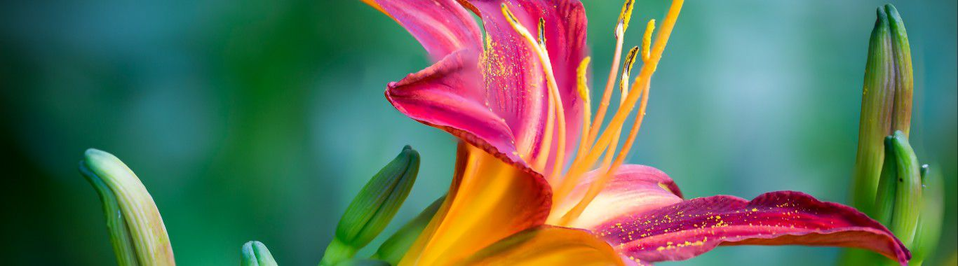 A pink and yellow lily