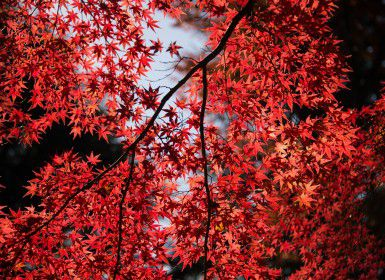 Red leaves on a tree